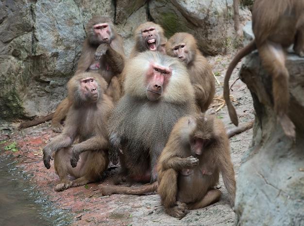 Famiglia di babbuini hamadryas