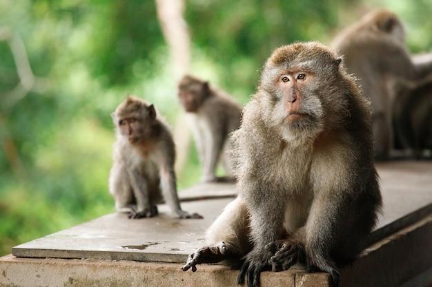 Famiglia di macaco dalla coda lunga - macaca fascicularis - nella sacra foresta delle scimmie, ubud, indonesia