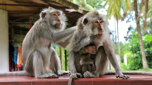 Famiglia di scimmie. bambino scimmia che allatta al seno. la mamma si nutre. papà è premuroso. concetto di famiglia