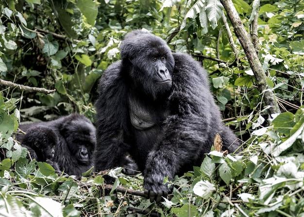Famiglia di gorilla moutanis bambino madre e padre nel parco nazionale di virunga rdc africa