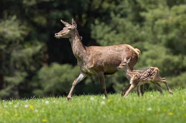 Famiglia di cervi nobili che si spostano sul prato in primavera
