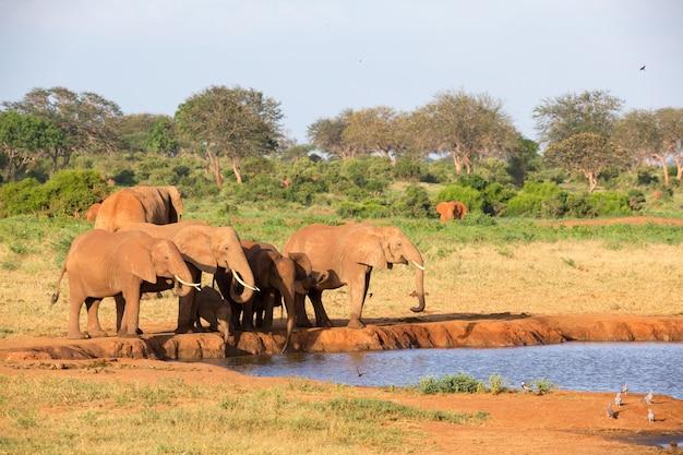 Una famiglia di elefanti rossi in una pozza d'acqua nel mezzo della savana