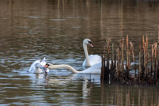 Famiglia di cigni sul lago nella riserva naturale di warnham