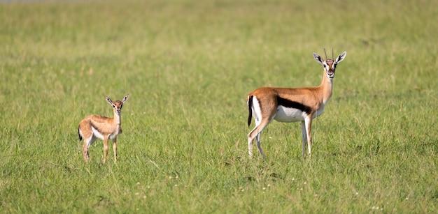 Una famiglia di gazzelle thomson nella savana del kenya