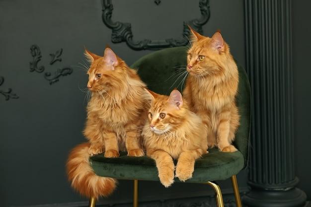 Una famiglia di tre soffici gatti maine coon rossi si siede su una sedia di velluto verde green