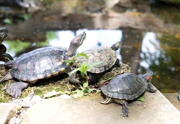 Una famiglia di tre tartarughe riposa sulle rocce vicino al lago. animali. fauna