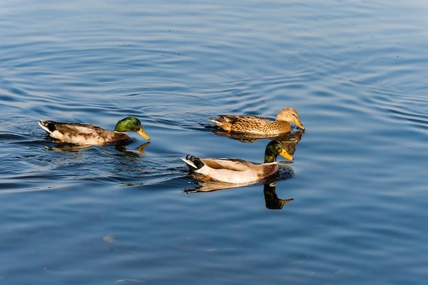 Famiglia di anatre selvatiche in acqua