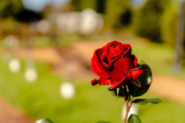 Famosa varietà imprerator crimson wave di rosa ornamentale rosso intenso coltivata nel roseto di palermo a buenos aires. piante ornamentali