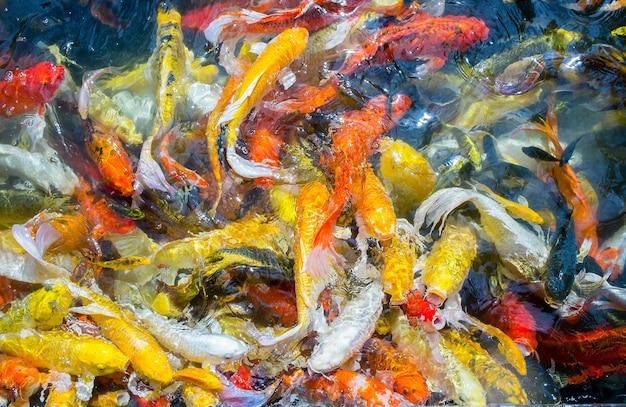 I pesci di carpa fantasia nuotano nello stagno, colorano i pesci carpa