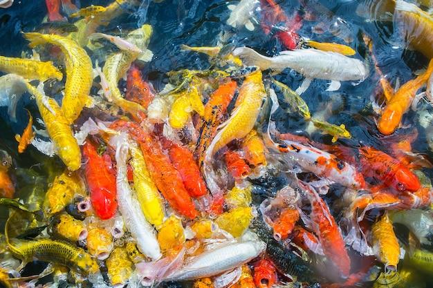 I pesci di carpa fantasia nuotano nello stagno