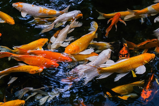 Fancy carp nuota nello stagno, le fancy carp sono dorate