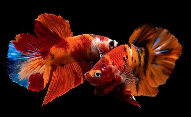 Fancy nemo betta fish o pesce combattente siamese