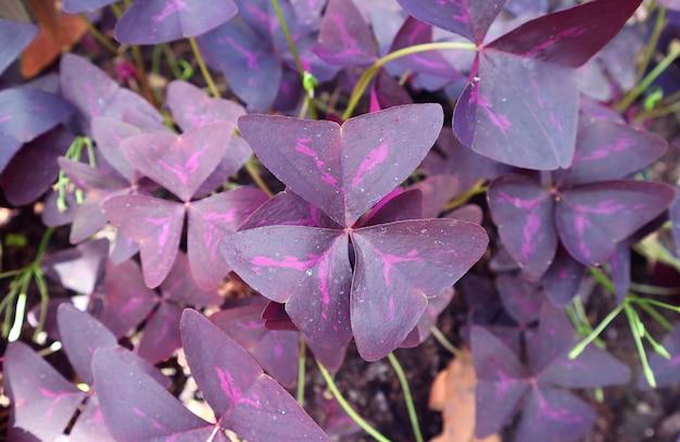 Fantastiche foglie viola intenso con motivo rosa acceso di una pianta di falso trifoglio