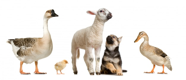 Animali da fattoria di fronte a uno sfondo bianco