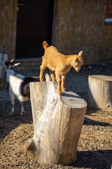 Animali da fattoria in uno zoo di contatto privato vovkin dvor o vovas yard a kemerovo russia
