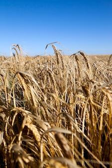Campo agricolo cereali - campo agricolo su cui crescono cereali grano, bielorussia, cereali maturi e ingialliti, piccola profondità di campo