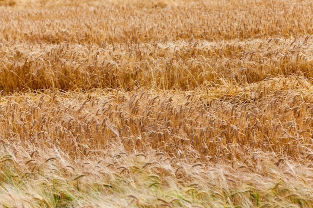 Campo agricolo cereali - campo agricolo su cui crescono cereali grano, bielorussia, cereali maturi e ingialliti,