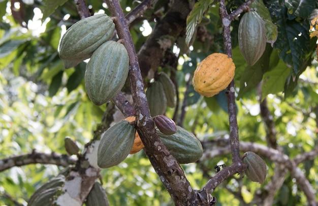 Fattoria con piantagione di cacao e frutti di cacao sugli alberi. Foto Premium