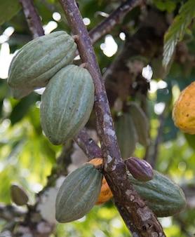 Fattoria con piantagione di cacao e frutti di cacao sugli alberi.