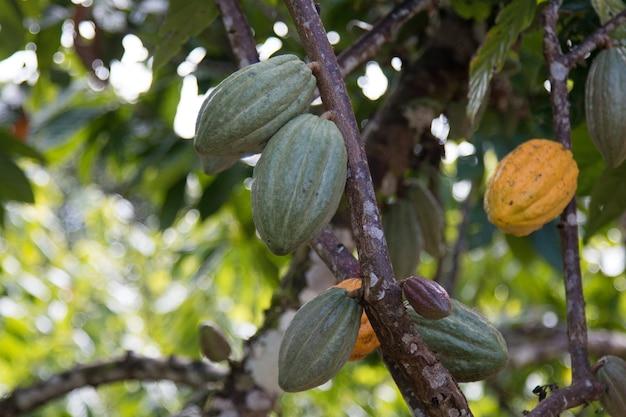 Fattoria con piantagione di cacao da frutta.