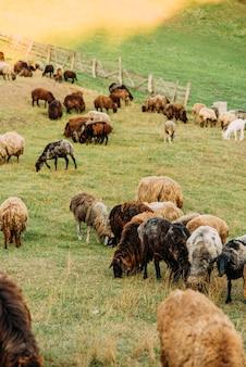 Fattoria con pecore e capre