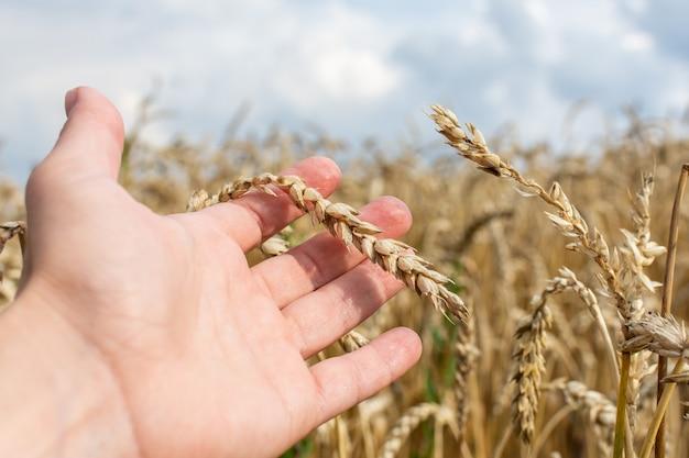 Agricoltore controlla la qualità delle spighe di grano, campo con giovani spighe di grano da vicino in una giornata piovosa, cereali, agricoltura