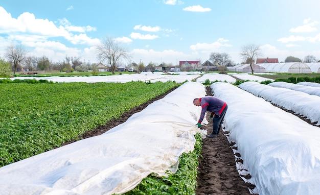 Un agricoltore copre una piantagione di patate con agrofibre prima di una notte fredda apertura delle piante di patate