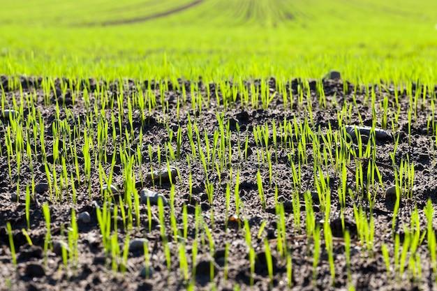 Campo dell'agricoltore con germogli di grano o altri cereali in un campo agricolo durante la loro rapida crescita e sviluppo