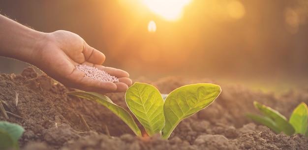 Contadino che dà fertilizzante alla giovane pianta di tabacco