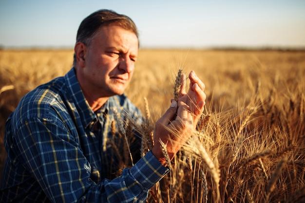 Il contadino si inginocchiò controllando la qualità dei chicchi di grano in mezzo alle spighette dorate mature del campo.