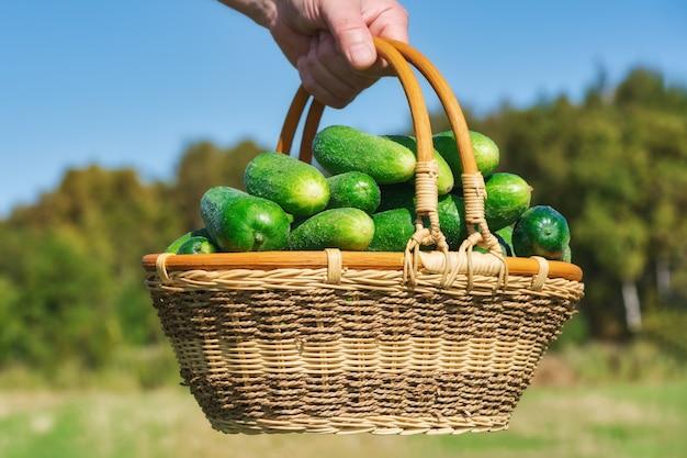 Mano dell'agricoltore che tiene cesto di vimini con cetrioli verdi molto freschi sullo sfondo della foresta autunnale