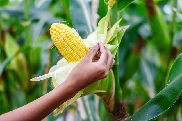 Mano dell'agricoltore che ispeziona il raccolto di mais maturo nel campo di mais