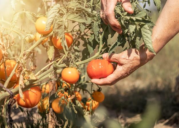 Mano dell'agricoltore che seleziona pomodoro maturo dal primo piano del ramo