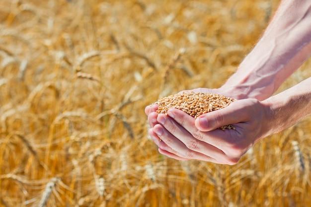 Mani del coltivatore che tengono i chicchi di grano maturo