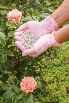 Le mani del coltivatore in guanti di nitrile tengono fertilizzante chimico per darlo a un cespuglio di rose che cresce nel giardino.