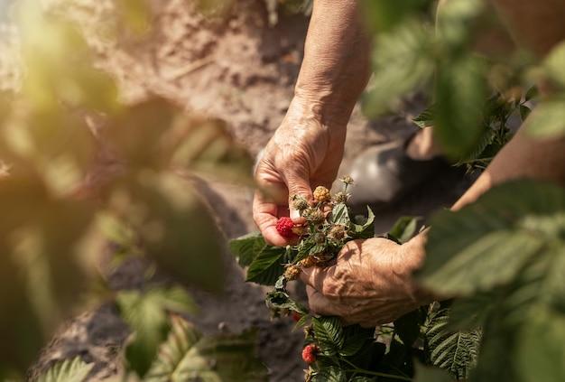 Mani dell'agricoltore che raccolgono lamponi dal cespuglio del giardino bacche fresche mature rosse sul ramo da vicino
