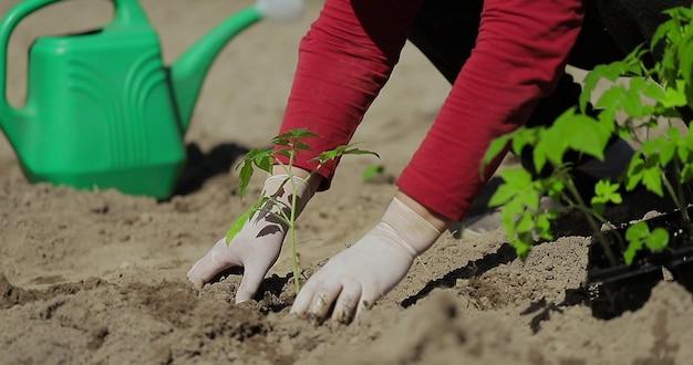 Mani dell'agricoltore che piantano la piantina di pomodoro nell'orto sullo sfondo un annaffiatoio per l'irrigazione agricoltura biologica e concetto di giardinaggio primaverile