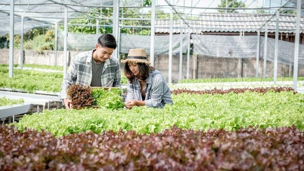 Coltivatore che raccoglie insalata biologica di verdure, lattuga da fattoria idroponica per i clienti.