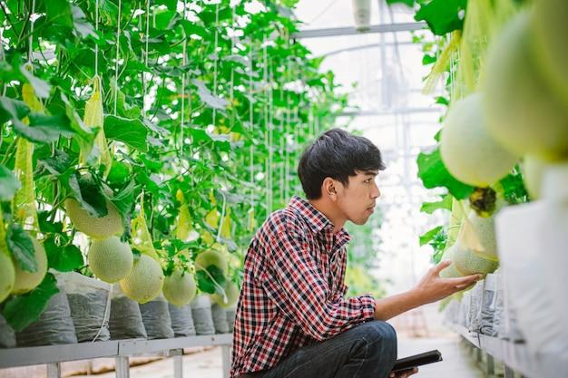 L'agricoltore sta verificando la qualità del melone nella fattoria dei meloni in una casa di plastica