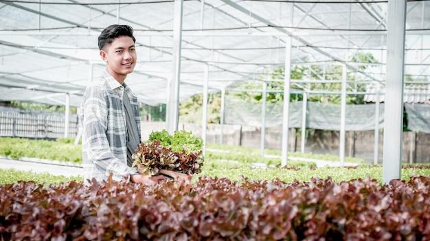 L'uomo del coltivatore raccoglie un'insalata biologica di verdure, lattuga da una fattoria idroponica.