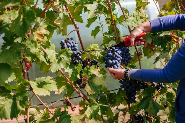 Contadino che raccoglie l'uva