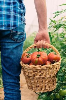 Coltivatore che raccoglie pomodori in un cestino. verdure di pomodoro coltivate in casa su una vite in serra.
