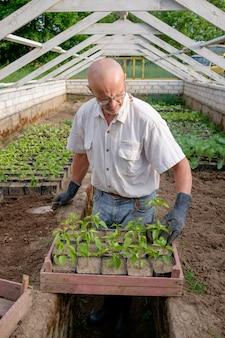 L'agricoltore prepara per piantare piantine di pepe