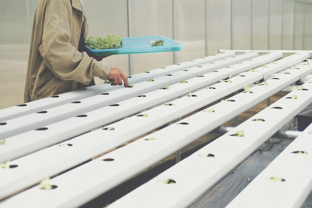 Coltivatore che mette germogli vegetali idroponici sulla spugna bagnata sul tubo ferroviario idroponico in vivaio