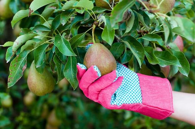 Mano del coltivatore in un guanto che seleziona una pera matura
