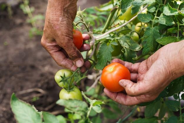 Le mani del contadino tengono i pomodori. un contadino lavora in una serra. ricco concetto di raccolto