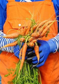 Contadino con carote appena raccolte