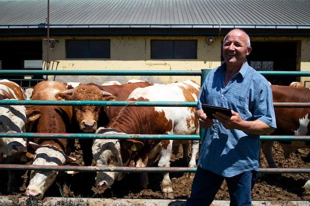 Contadino con un gruppo di forti tori muscolari animali domestici per la produzione di carne presso un'azienda agricola biologica.