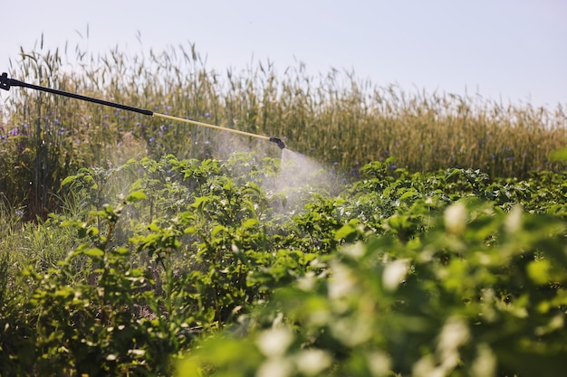 Un agricoltore con un nebulizzatore tratta la piantagione di patate da parassiti e infezioni fungine. utilizzare prodotti chimici in agricoltura. agricoltura e agroalimentare. elaborazione del raccolto. protezione e cura.