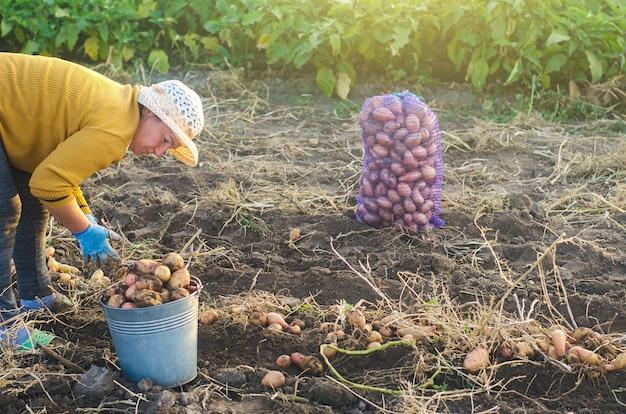 Una donna contadina raccoglie patate dissotterrate in un secchio. raccolta nella piantagione di fattoria. agricoltura